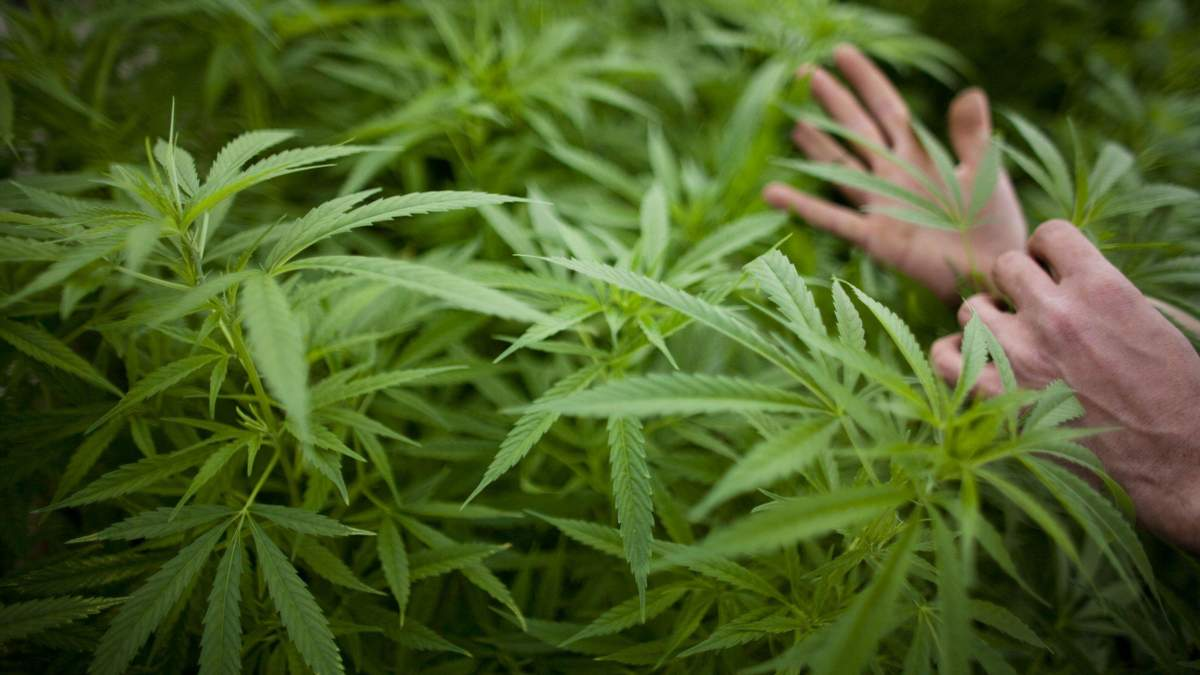 Акции компании по выращиванию марихуаны выросли на 24%