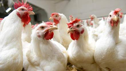 ЄС скасував заборону на експорт української курятини