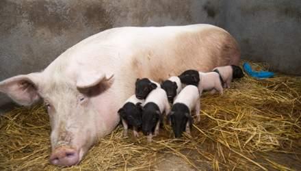 Победа Brexit: Великобритания запретит экспорт живых животных