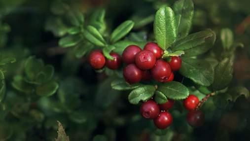 Ягідний бізнес в Україні: як заробляти на вирощуванні журавлини